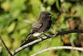 Black phoebe, Sayornis nigricans, along the Guadalupe River in Santa Clara, California, USA (30867399291).jpg