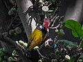 Black rumped flameback 05.jpg