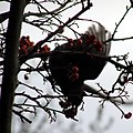 Blackbird acrobat (6706073059).jpg