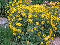 Blackeyed Susans in Utah.JPG