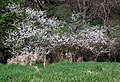 Blackthorn blossom - geograph.org.uk - 2371369.jpg