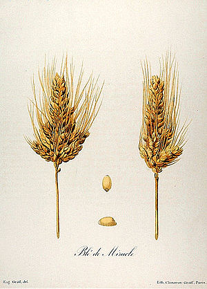 Taxonomy of wheat - Miracle wheat (Triticum turgidum var. mirabile).