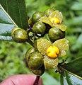 Blepharistemma serratum fruits 14.JPG