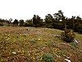 Blommande enebacke med bl.a. majsmörblomma och rosetter av nicktistel.jpg