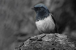 Blue-capped Redstart Uttarakhand India.jpg