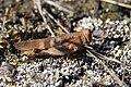Blue-winged Grasshopper - Oedipoda caerulescens (21031099922).jpg
