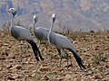Blue Cranes (Anthropoides paradiseus) (32459372972).jpg