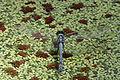 Blue Dragonfly Resting on Water.jpg