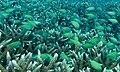 Blue Green Chromis (Chromis viridis) (8506680243).jpg