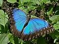 Blue Morpho (Morpho peleides) (6775813631).jpg