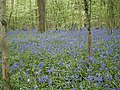 Bluebells in Crab Wood Hampshire - geograph.org.uk - 468810.jpg