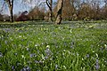 Bluebells near Hyde Park Corner - geograph.org.uk - 397813.jpg