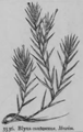 Blyxa japonica.png