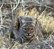 Bobcat at Tule Lake NWR
