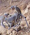 Bonnet macacque Macaca radiata at Matheran Maharashtra India (5). Mating..JPG
