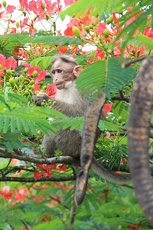 Bonnet macaque - Eating Delonix regia flowers