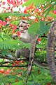 Bonnet macaque eating Delonix regia flowers 02.JPG