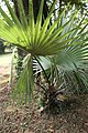 Borassus Aethiopum feuilles 08.jpg