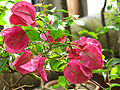 Bougainvillea glabra (in a greenhouse) 01.JPG