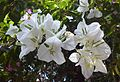 Bougainvillea in Mumbai India 2B.jpg