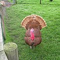 Bourbon Red Turkey - Home Farm, Temple Newsam - geograph.org.uk - 961979.jpg