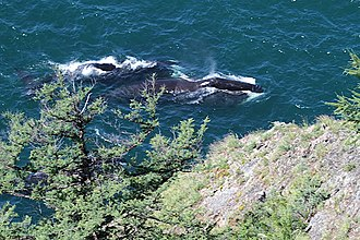 Shantar Islands National Park - Bowhead whales in Lingholm Strait