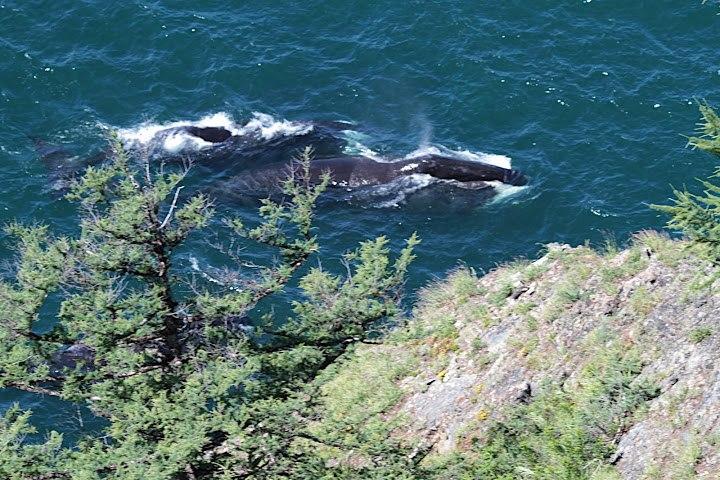Bowhead whales swimming in Lingolm strait by Vladislav Raevskii
