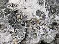 Brachiopods in fossiliferous limestone (Jeffersonville Limestone, Middle Devonian; Falls of the Ohio, southern Indiana, USA) 14 (32623277794).jpg