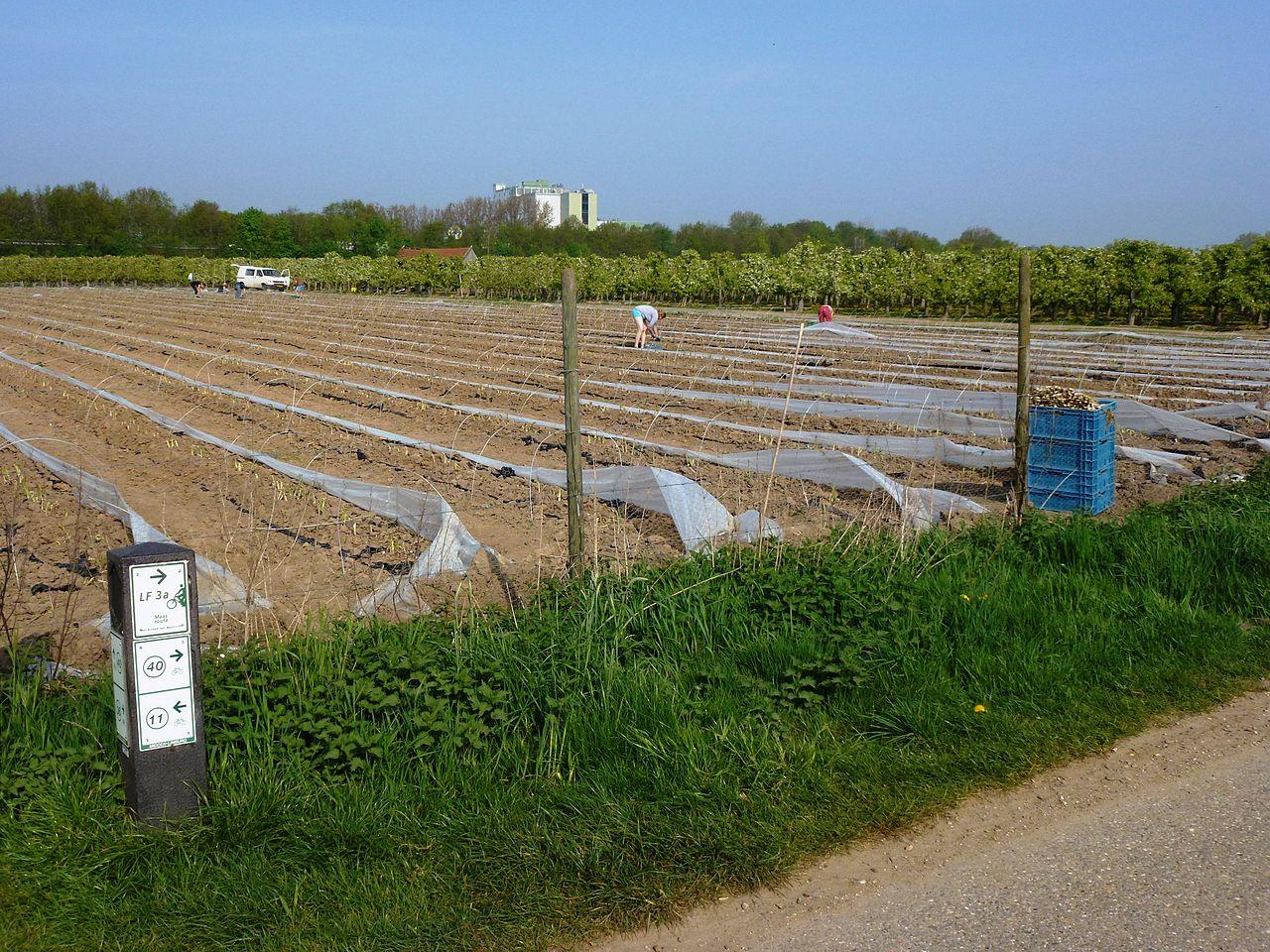 Brachterbeek (Maasgouw) aspergeveld.JPG