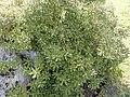 "Brachyglottis monroi ""Monro's ragwort"" (Compositae) plant.jpg"