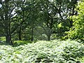 Bracken in a woodland clearing at Allt y Benglog National Nature Reserve - geograph.org.uk - 547361.jpg