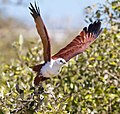 Brahminy kite 31 (7233234876).jpg