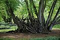 Branch stack against trees in Hatfield Forest Essex England 1.jpg