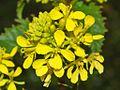 Brassicaceae - Sinapis arvensis (2).JPG