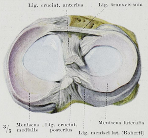 Meniscus (anatomy) - Image: Braus 1921 284