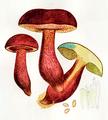 Bresadola - Boletus Erythropus.png