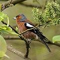 British Birds, Chaffinch (3194300491).jpg