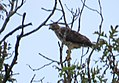 Broad-winged Hawk (documentation) cm (29400917102).jpg