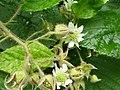 Brombeere-Blüte.JPG