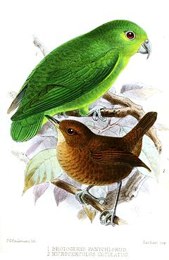 BrotogerysMicrocerculusKeulemans.jpg