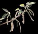 Broussonetia papyrifera - fleurs mâles.jpg