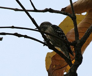 Brown-capped pygmy woodpecker - Image: Brown capped Pygmy Wooppecker (Dendrocopos nanus) in Kawal WS, AP W IMG 2086