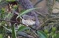 Brown Thornbill (Acanthiza pusilla) (30594034533).jpg