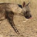 Brown hyena, Kgalagadi Transfrontier Park (37871559435).jpg
