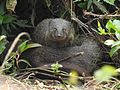 Brown mongoose DM DSCN8098.jpg
