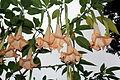 Brugmansia arborea (Datura arborea) (11034230466).jpg