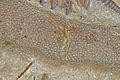 Bryozoa (Czortkow, Podole - Ukraine).jpg