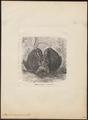 Bubo maximus - 1700-1880 - Print - Iconographia Zoologica - Special Collections University of Amsterdam - UBA01 IZ18400069.tif