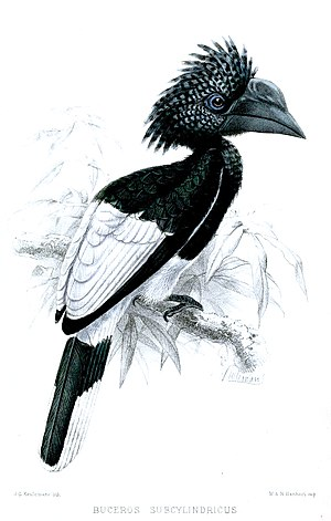 Black-and-white-casqued hornbill - Image: Buceros Subcylindricus Keulemans