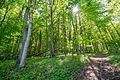 Buchenwald im Naturschutzgebiet 'Alter Gleisberg' bei Jena.jpg